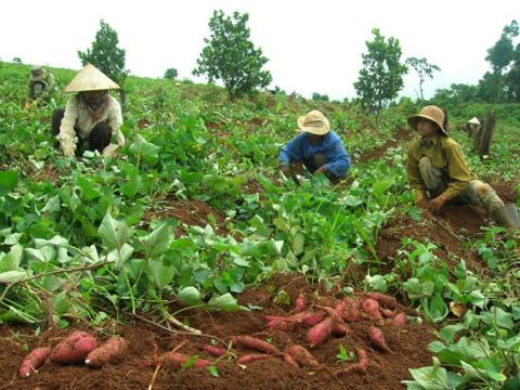 Mô hình trồng khoai lang Beng Larula (ảnh minh họa)